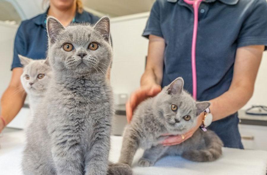 Die Behandlung der geduldigen Kätzchen